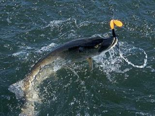 Figure-Eights for Aggressive Muskie