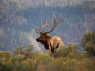 Elk on Hill