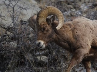 Mountain Sheep Gifts