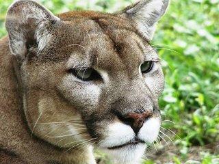 file_166933_0_cougar