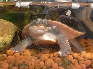 file_166943_0_snapping_turtle