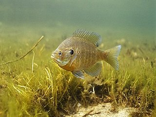 file_167049_0_bluegill