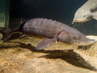 Fish Files: Lake Sturgeon