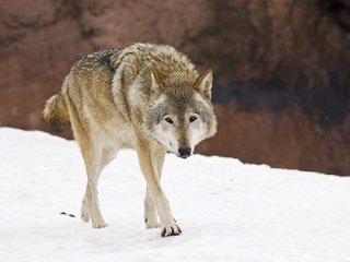 file_167771_0_wolf