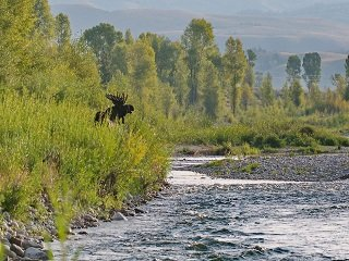 file_168083_0_moose_on_river(1)
