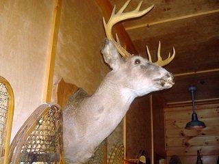 bad deer mount
