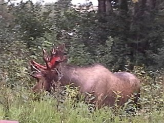 Moose hunting for non residents liveoutdoors for How much does it cost to buy a fishing license