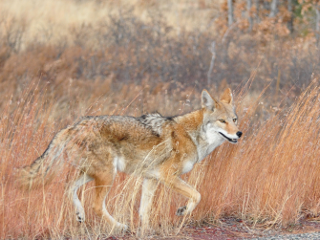 Top 5 States for Coyote Hunting