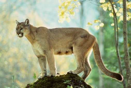 Police Shoot Cougar at Popular Hiking Trail