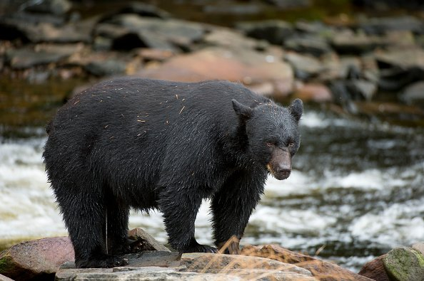 Bear Hunting in Florida Proposed