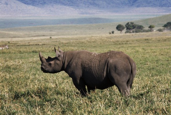 Texas Man Granted Pemit to Hunt African Black Rhino