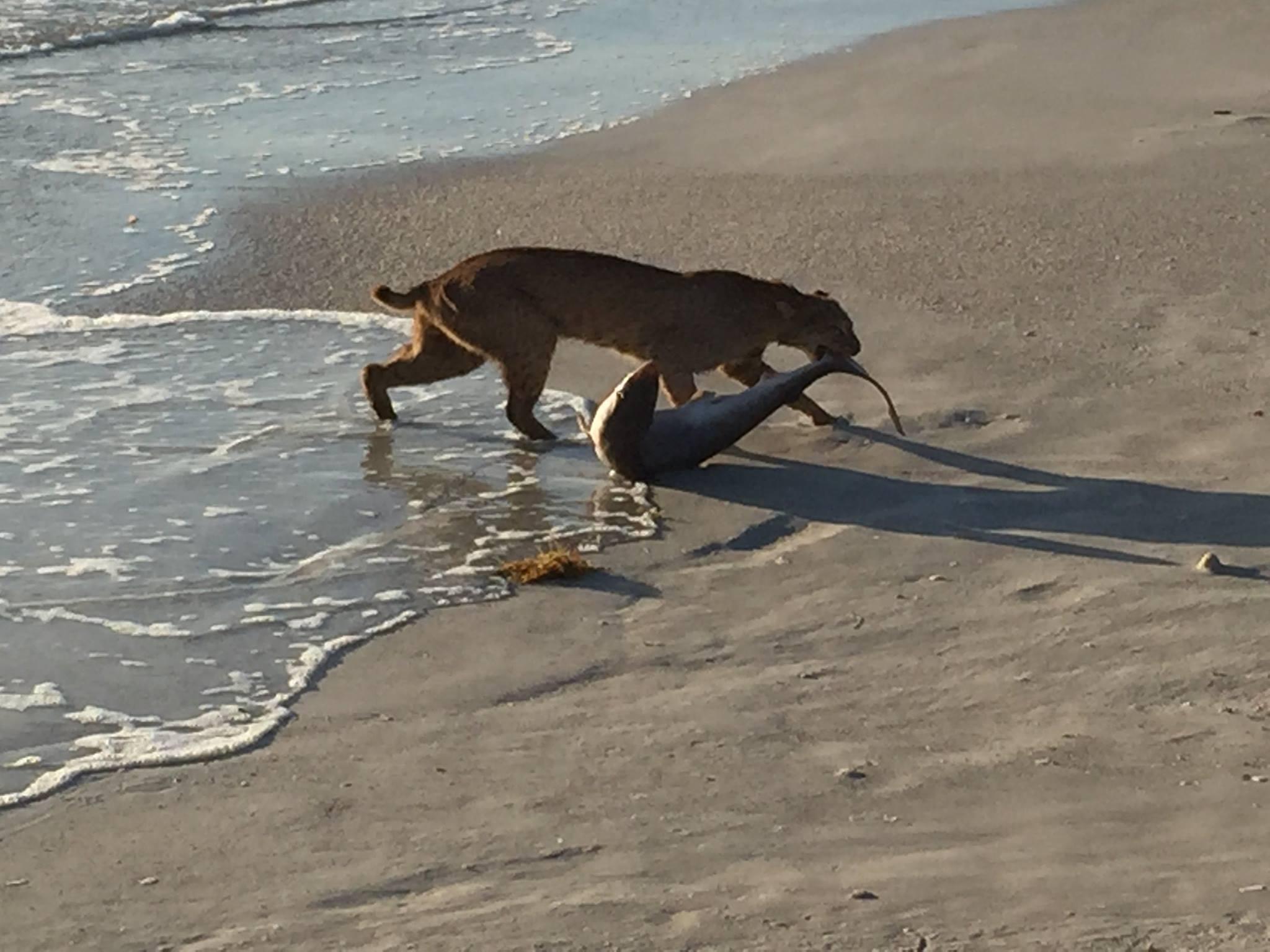 bobcat-shark