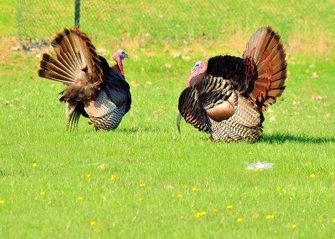 Spring Turkey Hunting Season Prep