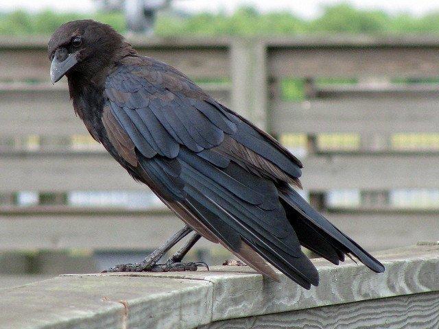 How to Hunt Crow