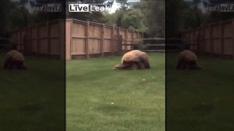 bear-backyard
