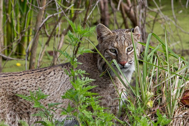 Bobcat Hunting Bans Debated in California, Illinois