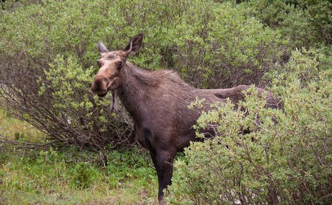 Mountain Biker Fends off Moose Attack with Helmet