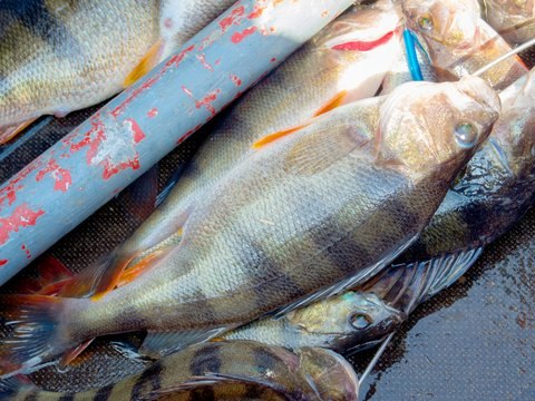7 tips for more perch this summer liveoutdoors for Yellow perch fishing secrets