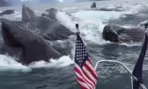Humpback Whales Surface Right Beside Fishing Boat
