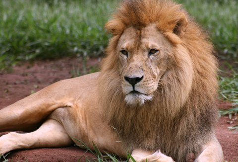 lion african 2