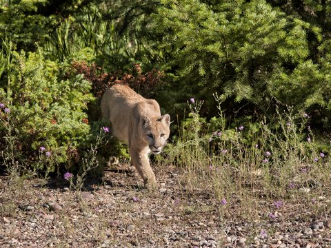 California Mountain Lions Take Record Number of Pets