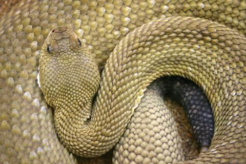 What You Need to Know About Rattlesnakes