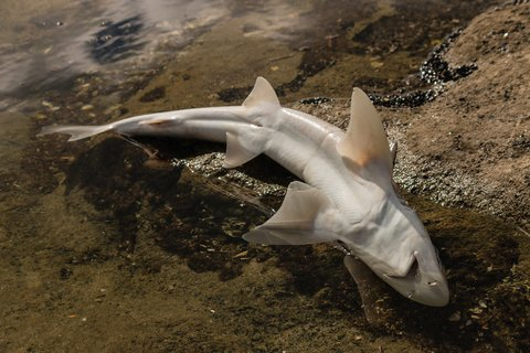 © Pstedrak | Dreamstime.com - Baby Shark Carcass Photo