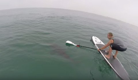 Watch Great White Sharks Circle These Paddleboarders