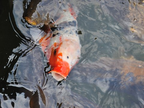 Asian Carp Found in Toronto Prompts Response