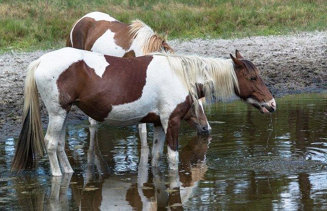 horses wild
