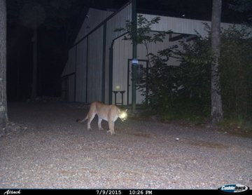 cougar-wisconsin