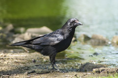 crow by river