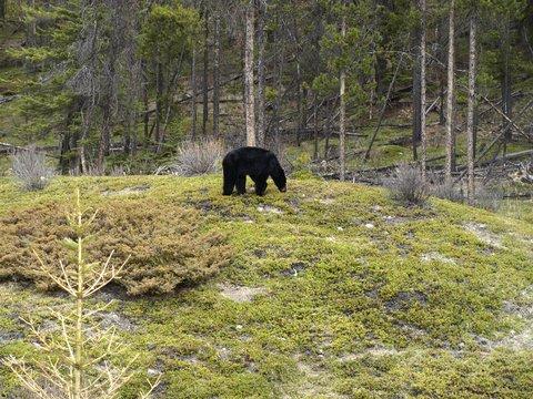 black bear far