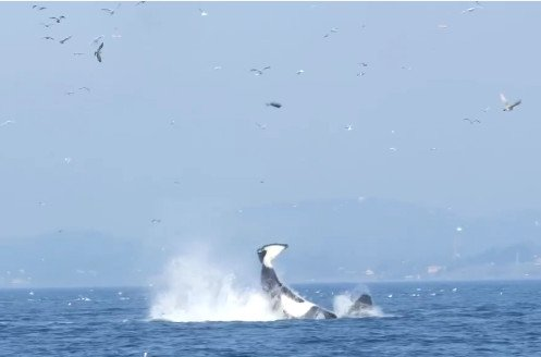 Killer Whale Punts Seal High into the Air