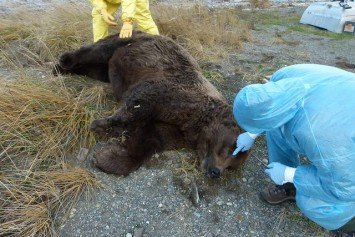 Two Mysterious Bear Deaths at Katmai National Park Alarm Rangers