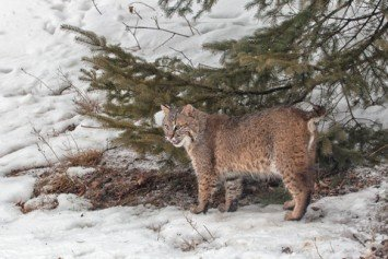 How to Hunt the Elusive Bobcat