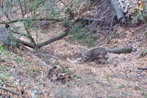 cougar-deer