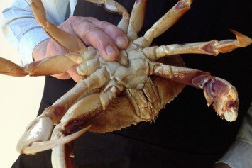 Toxins Postpone Dungeness Crab Fishing Season