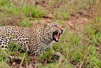 Leopard Kills Woman in South African Game Park