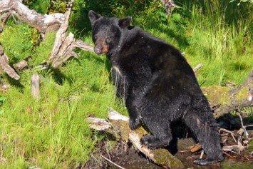 6 Tips for Basic Black Bear Hunting