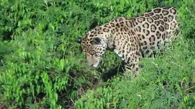 jaguar-caiman