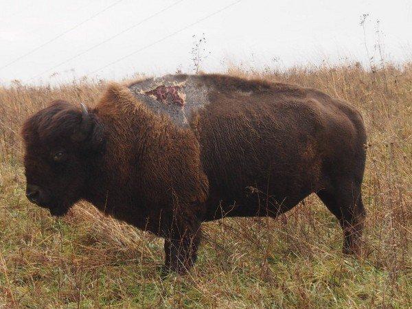 bison sparky
