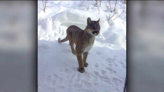 mountain lion snow