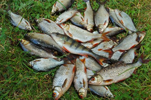 chub mackerel