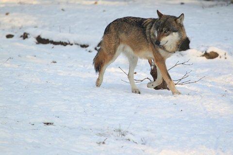 wolf grey