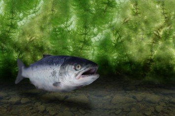 Salmon in Puget Sound Test Positive for Drugs