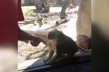 Watch This Baboon's Amazing Reaction to a Card Trick