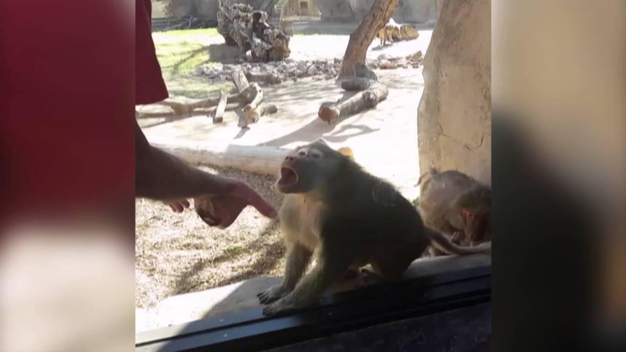 baboon-trick