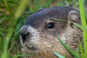Woodchucks Make Great Off-Season Hunting