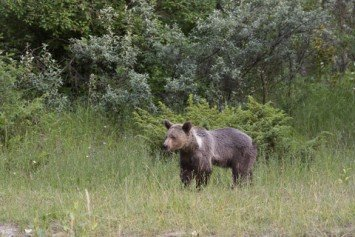 Federal Grizzly Bear Delisting Sets Up Battle Over Conservation